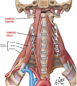 anterior cervical muscles