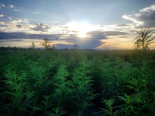 Shi Farms - Colorado Hemp Farm