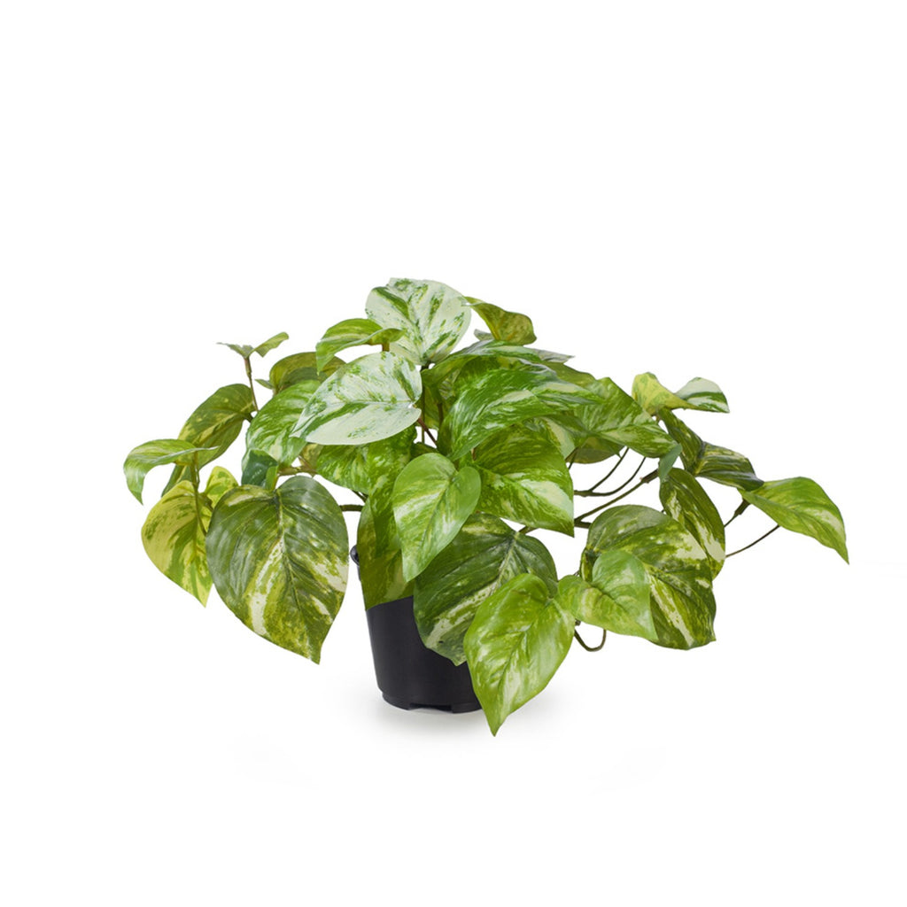 Short Pothos Plant (in pot)