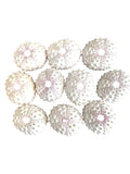 White Knobby Sea Urchin (Pack of 10)