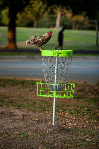 free roaming chicken sits on top of a disc golf basket in Lafreniere Park, Metairie, Louisiana