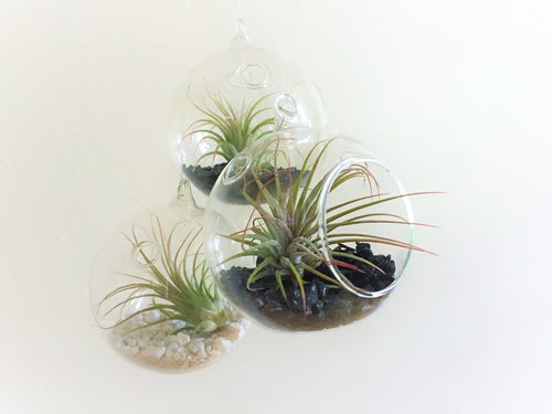 All about Airplants (Feb 17th)