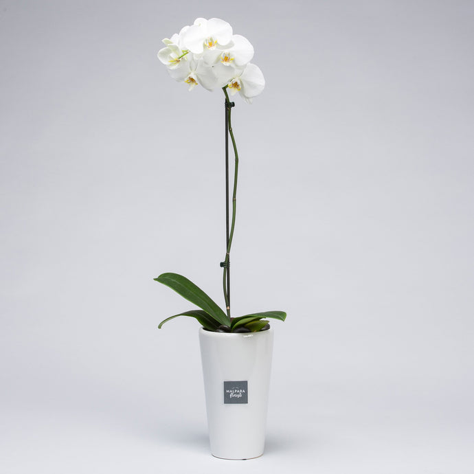 Ceramic Orchid - Florist Choice