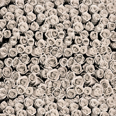 Roses White • Floral Backdrops