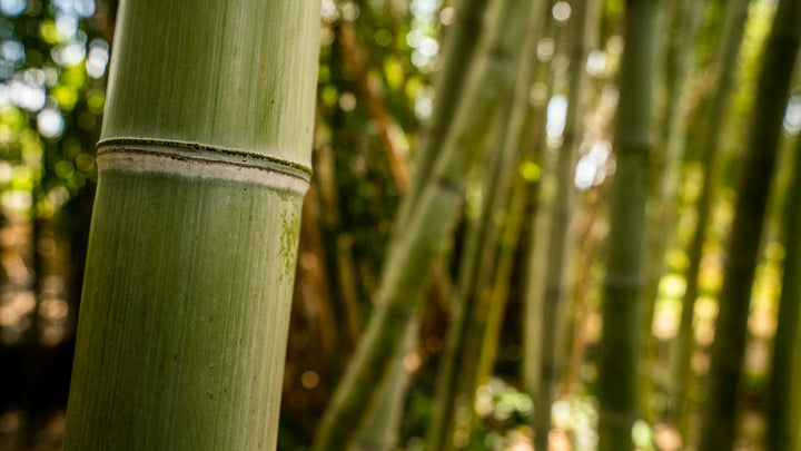 Bamboo growing, the natural ingredient of environmentally friendly bamboo toilet paper