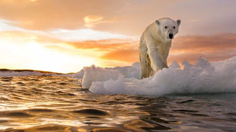 climate change global warming polar bear