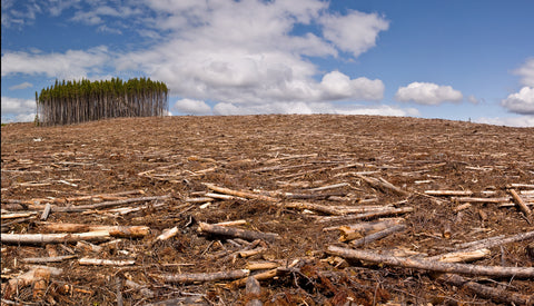 Pine forest cut down