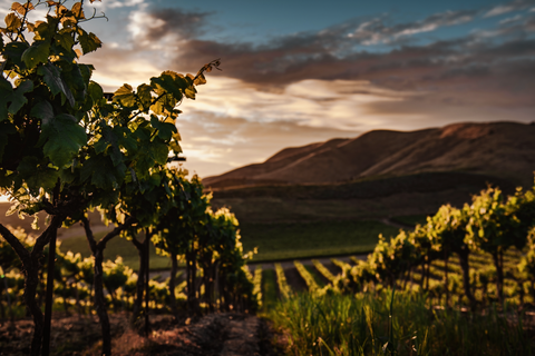 Beautiful scene of winery rows at sunset