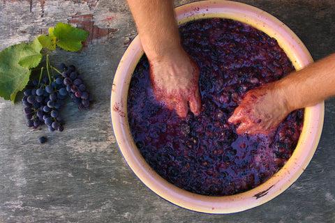 Hands in grapes, smashing them for wine