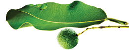 TAMANU - The sacred tree with a thousand virtues