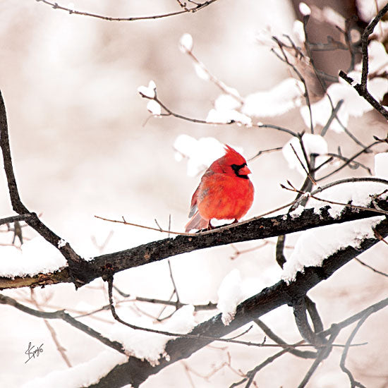 Justin Spivey JDS185 - Cardinal I  - Cardinal, Snow, Branch, Tree from Penny Lane Publishing