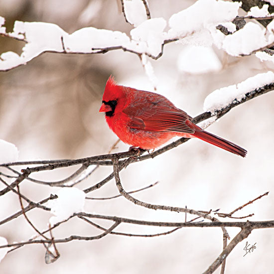 Justin Spivey JDS186 - Cardinal II  - Cardinal, Snow, Branch, Tree from Penny Lane Publishing