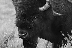 LD1967 - Yellowstone Bison    - 18x12