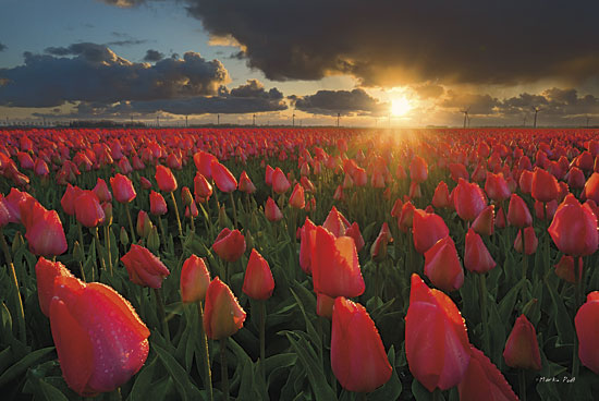 Martin Podt MPP183 - Tulips at Sunset - Tulips, Field, Landscape from Penny Lane Publishing