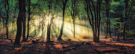 Martin Podt MPP687A - MPP687A - Sun Rays in the Forest II - 36x12 Trees, Forest, Sunlight, Photography from Penny Lane