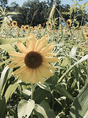 ANT142 - Sunflowers