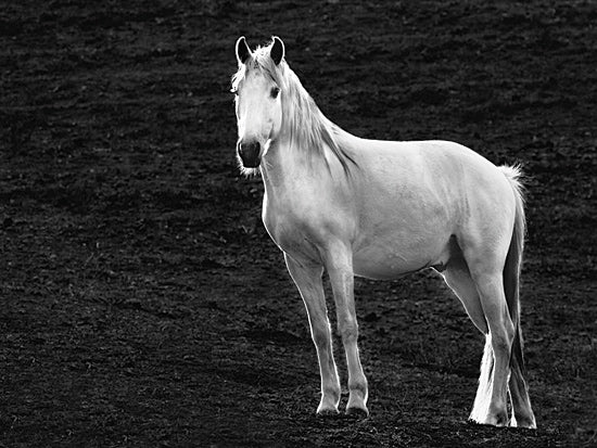 JG Studios JGS293 - JGS293 - The Stance - 16x12 Photography, Horse, Black & White, Portrait from Penny Lane