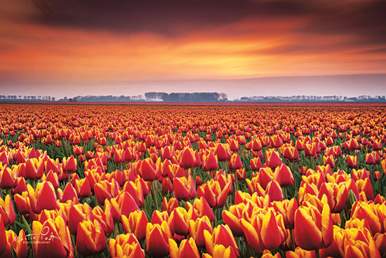 Martin Podt MPP421 - Dramatic Tulips Tulips, Flowers, Field, Sun from Penny Lane