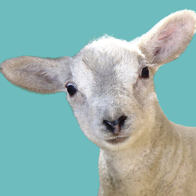 Harry (Lamb)