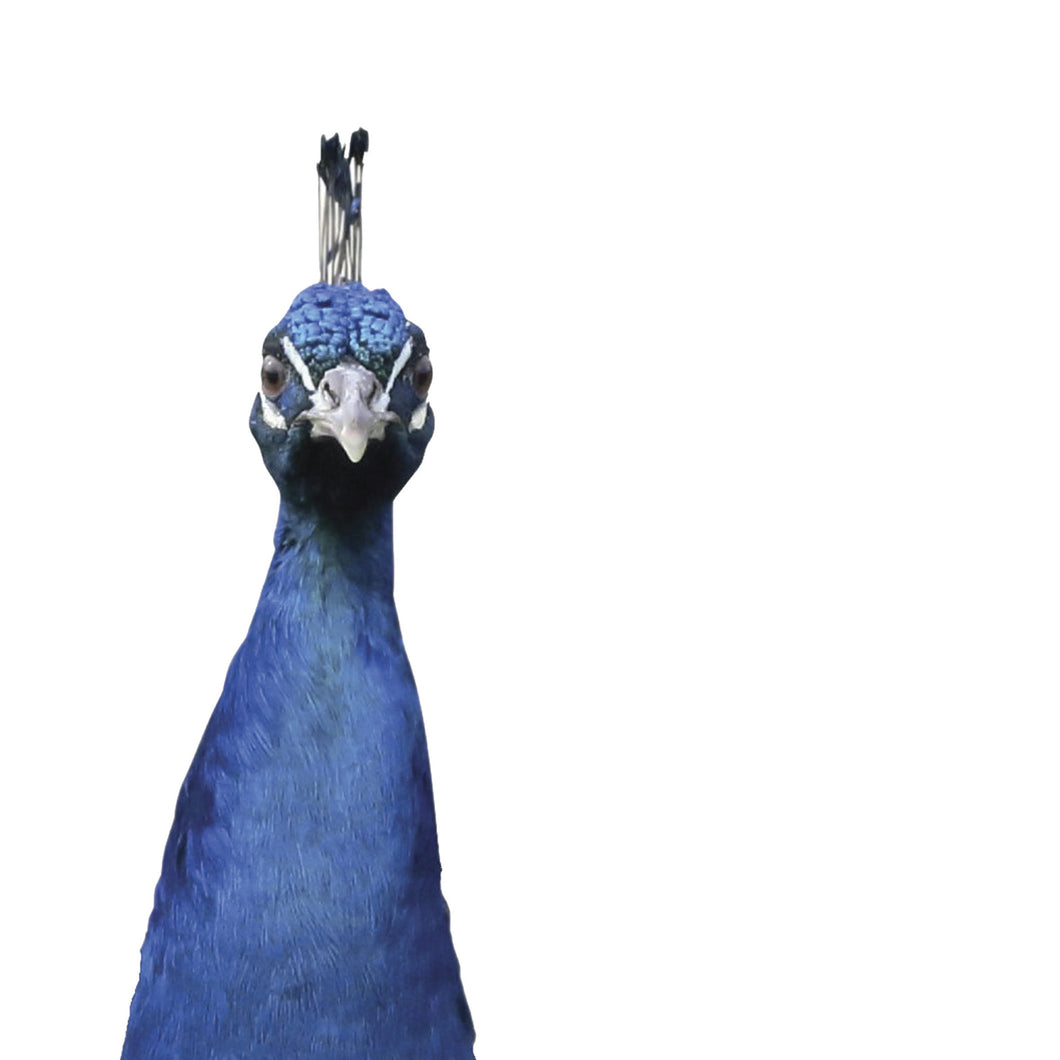 Percy (Peacock)