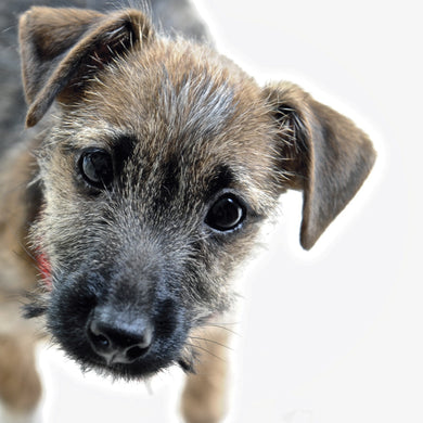 Brian (Border Terrier Dog)