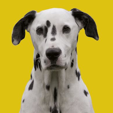 Hector (Dalmation)