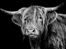 Stan (Highland Cow)