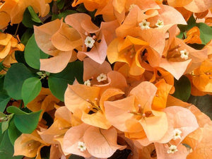How to care for Bougainvilleas
