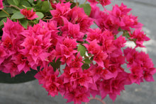 Bougainvillea 'Double Red' Red/Pink Flowers. 4 Plants, 2 Per Pot.