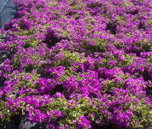 Bougainvillea 'Blueberry Ice'