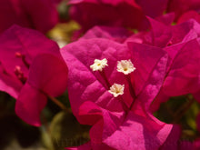 "Bougainvillea""Barbara Karst"" Deep Red Flower. 4 Plants, 2 per Pot."