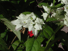 Clerodendrum 'Bleeding Heart' White Flowers. 4 Plants, 2 per Pot.