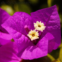 "Bougainvillea""Elizabeth Angus"" Purple Flowers. 4 Plants, 2 per Pot."