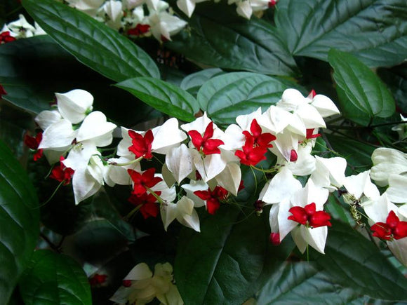 Clerodendrum 'Bleeding Heart' White
