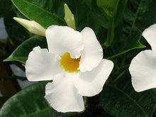 "Mandevilla ""Brides Cascade"" White Flower. 4 Plants, 2 per Pot."