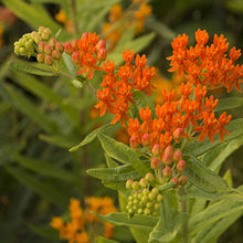 Asclepias Milkweed Silky Red