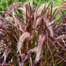 Pennisetum 'Red Fountain Grass'