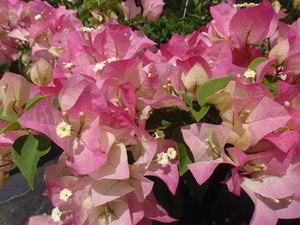 Bougainvillea 'Thai Delight'