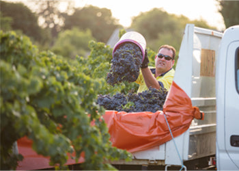 Harvesting the Historic Marion Vineyard - Vintage 2017