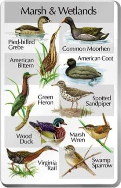 Birds of the Marsh and Wetlands For Classic IdentiFlyer and Singing AlarmClock