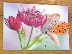 Postkarte art+nature Sterndolde+Schmetterling
