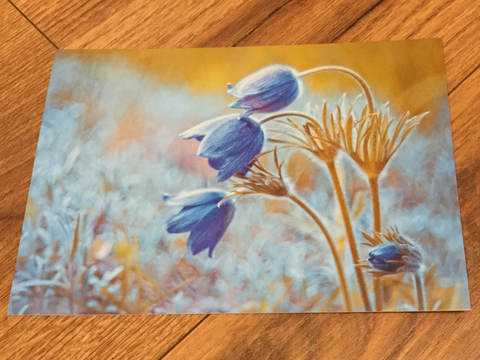 Postkarte art+nature Kuhschellen - Polly Paper