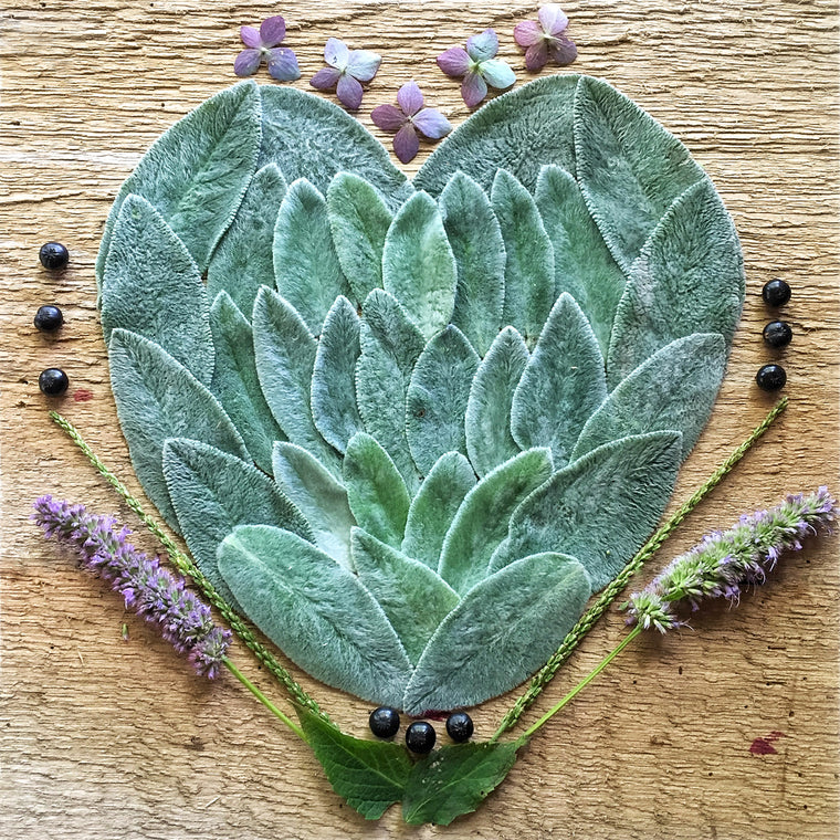 """Lambs Ear Heart"" by Meredith Brower"