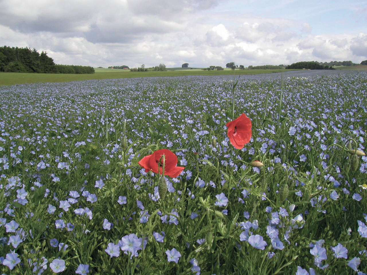 Swedish flax field in bloom.