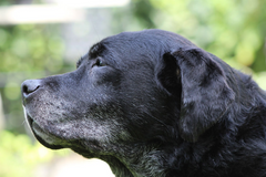 profile view of elderly black lab dog with gray muzzle
