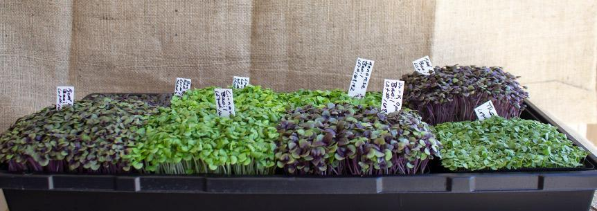 Know Your Basil Varieties
