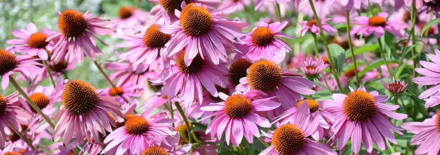 Purple Coneflower: A Lasting Classic American Wildflower