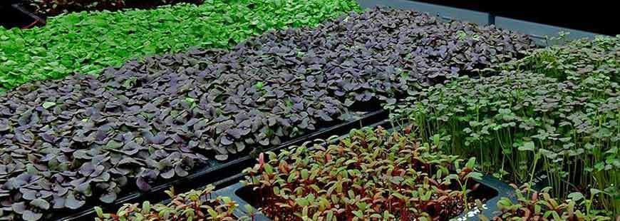 Microgreens & Wheatgrass: Control the Moisture, Control the Mold