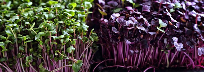 Microgreens – More Nutritious Than Mature Vegetables and Herbs?
