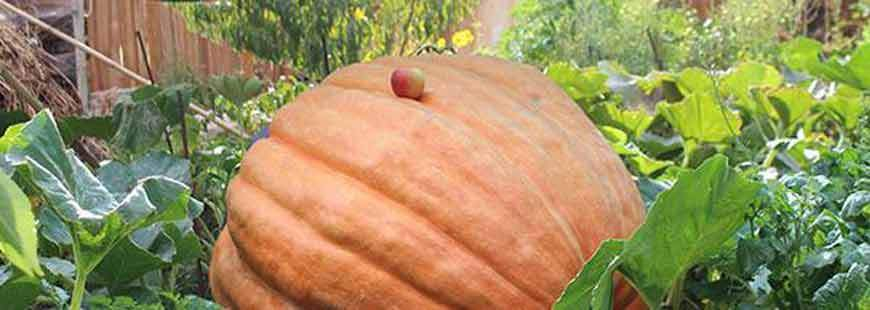 The Story of Our Giant Pumpkin
